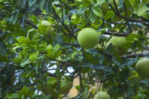 Dreamcatcher-resort-munnar-Fruit-tree