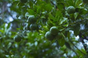 Dreamcatcher-resort-munnar-Orange-tree