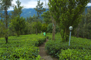 Dreamcatcher-resort-munnar-plantation-walking