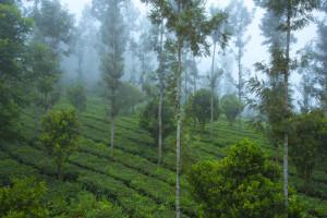 Dreamcatcher-resort-munnar-teaplantation